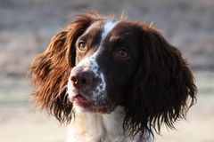 A pretty working english springer spaniel gundog Stock Photography