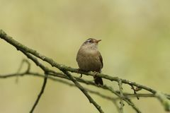 A pretty Wren, Troglodytes troglodytes, perched on a branch in a tree. A cute Wren, Troglodytes troglodytes, perched on a branch in a tree royalty free stock image
