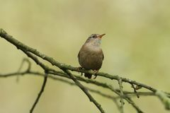 A pretty Wren, Troglodytes troglodytes, perched on a branch in a tree. A sweet Wren, Troglodytes troglodytes, perched on a branch in a tree stock photo