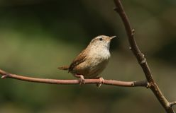 A pretty Wren, Troglodytes troglodytes, perched on a branch in a tree. A Wren, Troglodytes troglodytes, perched on a branch in a tree stock photos