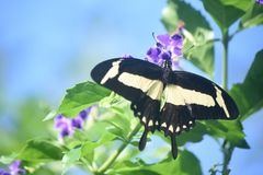 Pretty Yellow and Black Swallowtail Butterfly on Purple Flowers. Very pretty yellow and black swallowtail butterfly on flowers stock photography