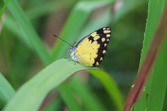 Pretty Yellow Butterfly on a Leaf Royalty Free Stock Photos
