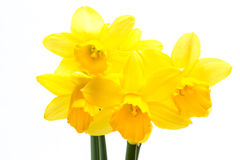 Pretty yellow daffodils Royalty Free Stock Photo