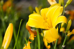 Pretty Yellow Flower Stock Photography