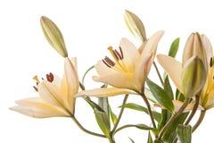 Pretty yellow lilies on white. Royalty Free Stock Photos