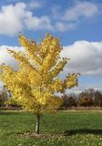 Simple yellow lovely tree. A pretty yellow lonely tree at a public park royalty free stock photos