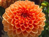 Pretty Yellow orange dahlia flower. A pretty large orange dahlia Royalty Free Stock Photo