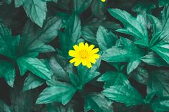 Pretty yellow petite petals of Creeping daisy on dark green leaves, known as many name on located area are Singapore daisy stock image
