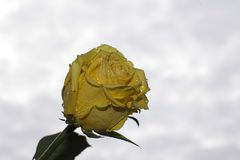 Pretty yellow rose close up in the sunshine Stock Photography
