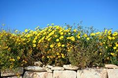 Yellow flowers on a drystone wall, Malta. Stock Photos