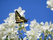 Pretty yellow tiger swallowtail butterfly on white flowers at Jericho beach, British Columbia, Canada, 2018. Summertime pretty tiger swallowtail butterfly on stock image