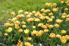 Pretty Yellow Tulips Royalty Free Stock Photos