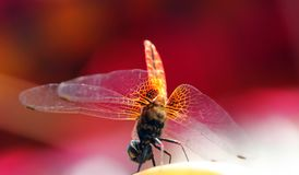 Pretty yellow winged dragonfly with red background Royalty Free Stock Image