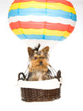 Pretty Yorkie in hot air balloon Royalty Free Stock Images