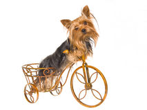 Pretty Yorkie puppy on mini brown bike Royalty Free Stock Photos