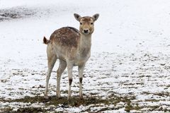 A pretty young female fallow deer is standing in the snow on a meadow royalty free stock photo