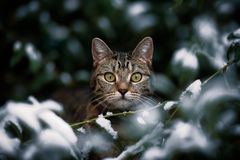 Tabby Stares Through Snowy Bush. A pretty young female tabby cat British shorthair stares from with a frosted bush, over a thin branch surrounded by leaves with royalty free stock images
