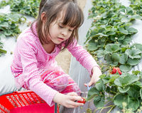 Pretty Young Girl Picking Fruit at Strawberry Farm Stock Images