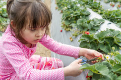Pretty Young Girl Picking Fruit at Strawberry Farm Stock Photos