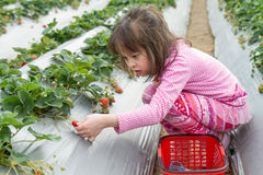 Pretty Young Girl Picking Fruit at Strawberry Farm royalty free stock image