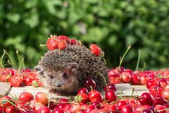 Pretty young hedgehog among the berry on green leaves background Royalty Free Stock Photo