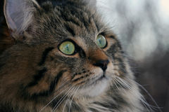 Pretty young Norwegian cat. The face of a pretty young Norwegian cat Royalty Free Stock Images