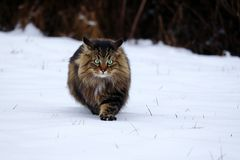 A pretty young Norwegian Forest Cat hunting in the snow royalty free stock images
