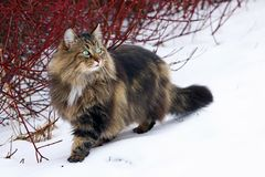 A pretty young Norwegian Forest Cat hunting in the snow.  royalty free stock photo