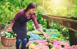 Pretty young nursery owner pointing to the flowers Stock Image
