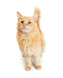 Pretty Young Orange Tabby Cat Looking Forward Stock Photo