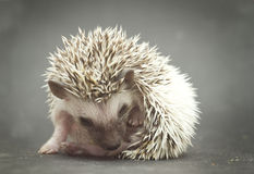 Pretty young rodent hedgehog baby background Stock Photo
