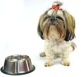 Pretty young shih tzu Royalty Free Stock Photos