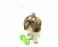 Pretty young shih tzu Royalty Free Stock Photography