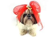 Pretty young shih tzu Stock Photography