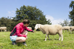 Pretty young woman feeding sheep Royalty Free Stock Photography
