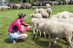 Pretty young woman feeding sheep Royalty Free Stock Image