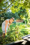 Pretty, young woman gardening in her garden. Cutting branches, preparing the orchard for the winter Stock Photography