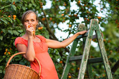 Pretty, young woman picking apricots lit Royalty Free Stock Images