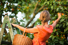 Pretty, young woman picking apricots lit Stock Image