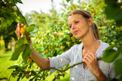 Pretty, young woman picking apricots lit by warm summer evening Stock Photography