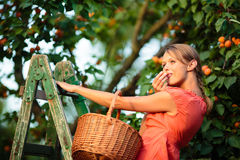 Pretty, young woman picking apricots lit by warm summer evening Stock Image
