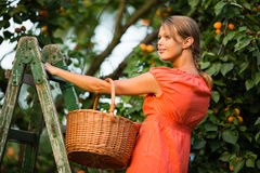 Pretty, young woman picking apricots lit by warm summer evening Stock Images