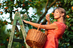 Pretty, young woman picking apricots lit by warm summer evening Stock Photo