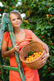 Pretty, young woman picking apricots lit by warm summer evening. Light (shallow DOF; color toned image royalty free stock photo