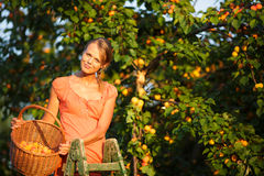 Pretty, young woman picking apricots lit. By warm summer evening light (shallow DOF; color toned image Royalty Free Stock Photo
