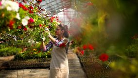 Young woman working with spring flowers in the greenhouse stock video footage