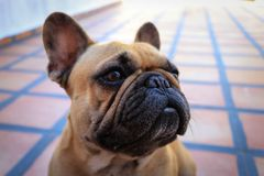 French bulldog dog rests posing to the camera. Prety French bulldog dog rests posing to the camera Royalty Free Stock Photography