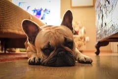 French bulldog dog rests posing to the camera. Prety French bulldog dog rests posing to the camera Stock Image