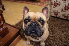French bulldog dog rests on the wooden floor. Prety French bulldog dog rests on the wooden floor Stock Images