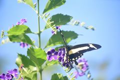 Prety Yellow Swallowtail Butterfly Resting on Purple Flowers. Purple flowers with a yellow swallowtail butterfly on them stock photos